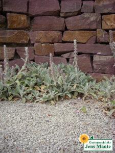 pflanze staude Wollziest sehr trockenheitsvertraeglich