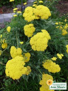 pflanze staude schafgarbe trockenheitsvertraeglich gelbe bluete