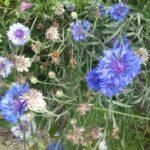 naturgarten naturnahe pflanzenverwendung heimische pflanzen standortangepasst natuerliches vorkommen aussaen versamung ansaat saatgut kraeuterrasen blumenwiese