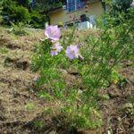 wiesenstaude in wiese eingepflanzt