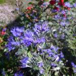 pflanze_bartblume_caryopteris