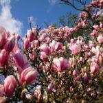 Magnolie in der Blüte