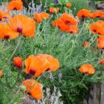 bild von orangengelben mohnblüten