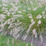 Pennisetum alopecuroides ´Hameln´ - Japanisches Federborstengras