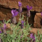 Pflanzen-Schopflavendel-Sandsteine