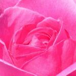 Eine Rosenblüte