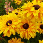 Pflanzungen Maute Marburg Rudbeckia hirta Doppelte Freude