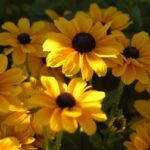 Pflanzungen Maute Marburg Rudbeckia hirta Marmelade