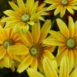 Pflanzungen Maute Marburg Rudbeckia hirta Prairie Sun