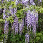Kletterpflanze Blauregen
