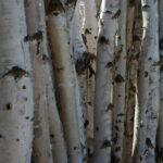 stämme von jungen birken einfach nebeneinander gestellt ergibt einen zaun bzw. eine sichtschutzwand