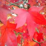 Liquidambar - Amberbaum Herbstfärbung